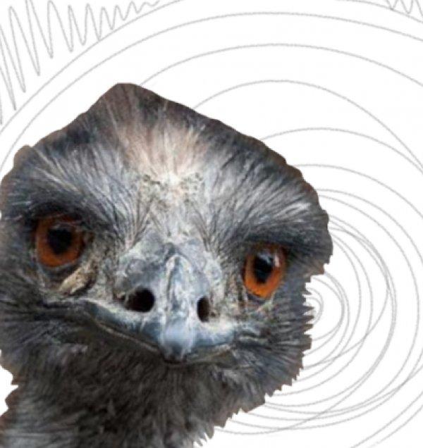Deve kuşları Avustralya ordusunu yendi: Emu Savaşı #6