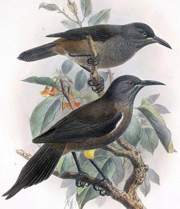 Nesli tükenen Kauai kuşunun son şarkısının hikayesi #1